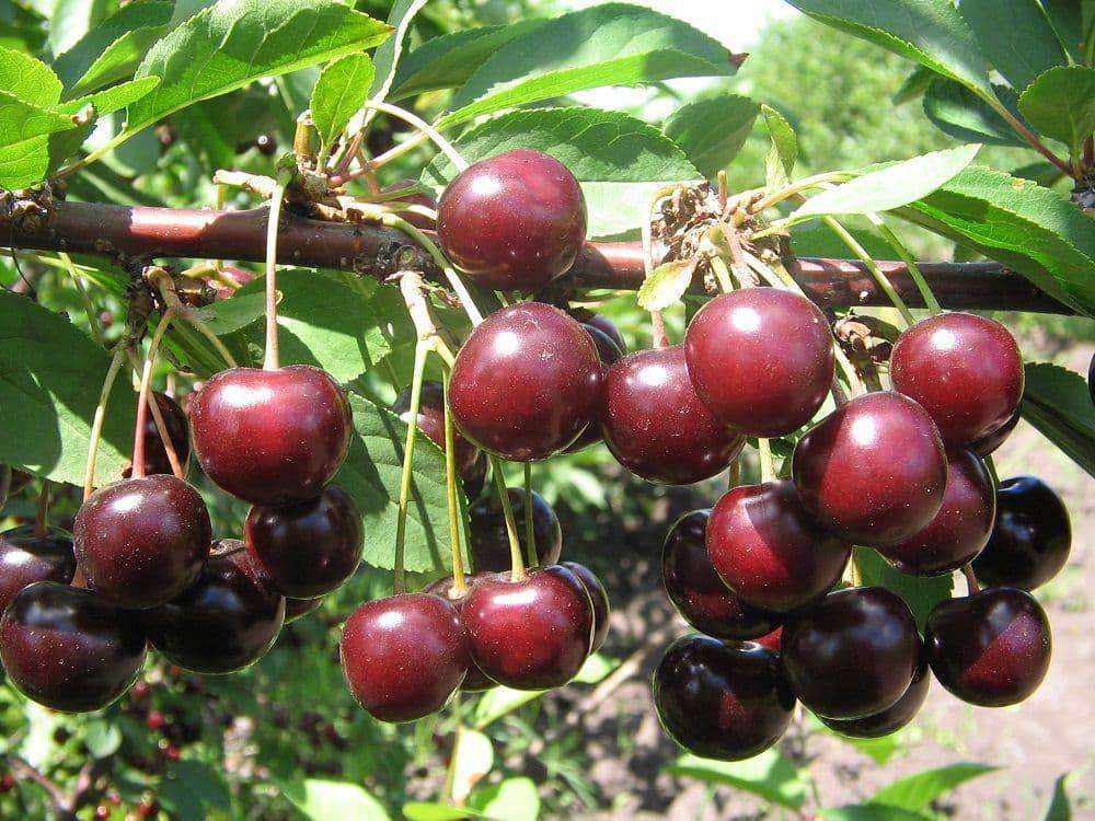Топ-5 самых сладких сортов вишни