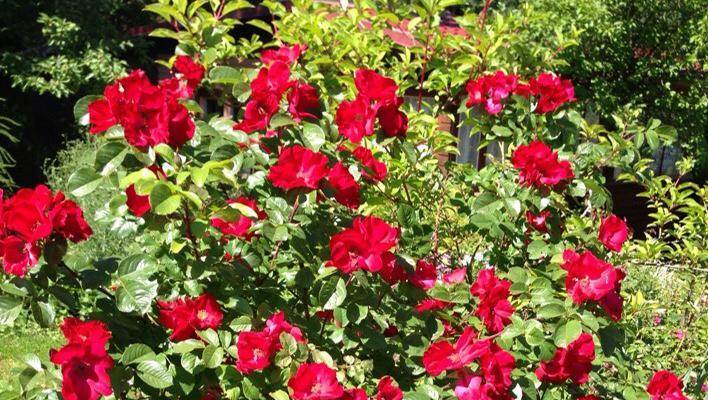 Роза робуста, посадка и уход