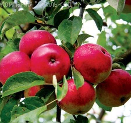Яблони сорта лобо: посадка и уход