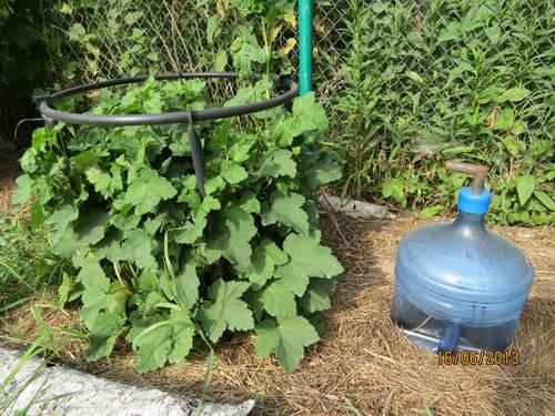 Нужно ли обвязывать кусты смородины на зиму. особенности ухода за чёрной и красной смородиной. как подготовить осенью кустарник к зимовке