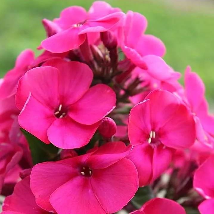 Чем подкормить флоксы? подкормка в июле и июне, перед цветением и во время него