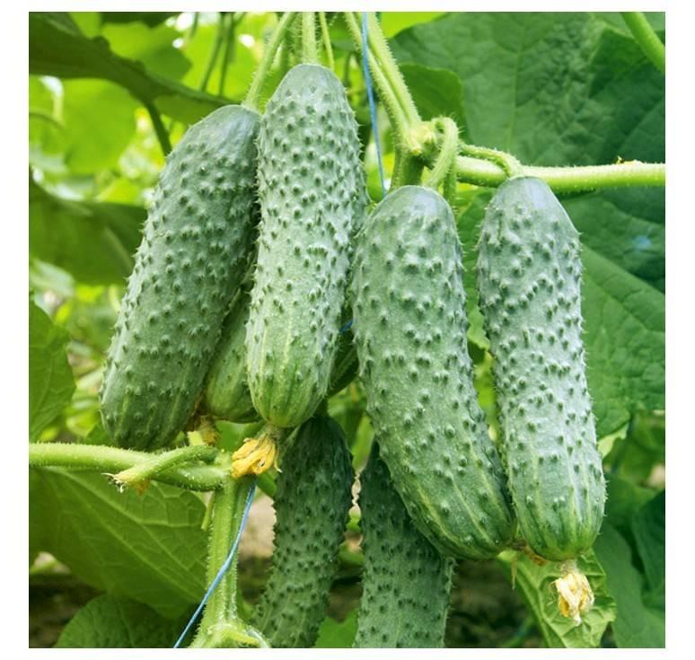 Об огурце Мамлюк: описание сорта, характеристики, технология выращивания