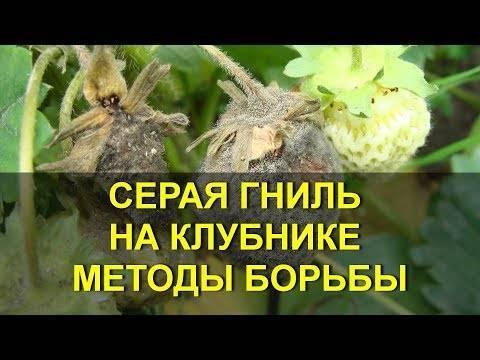 Серая гниль уничтожает урожай клубники. как спасти ягоды: методы борьбы с гнилью, устранение причин