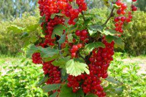 Защита смородины: весенняя обработка от вредителей и болезней