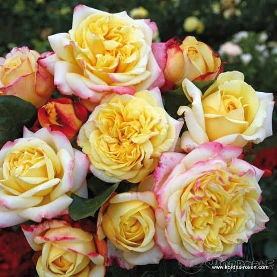Розы kordes