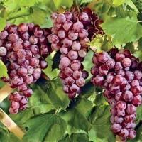 Виноград рилайнс пинк сидлис: описание сорта с фото, отзывы, посадка и уход