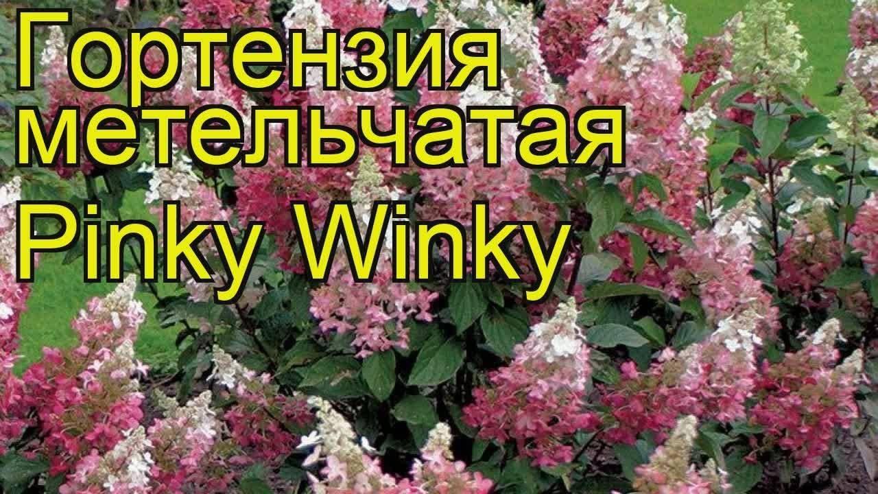 О сорте гортензии Пинки Винки: описание, условия посадки, как ухаживать