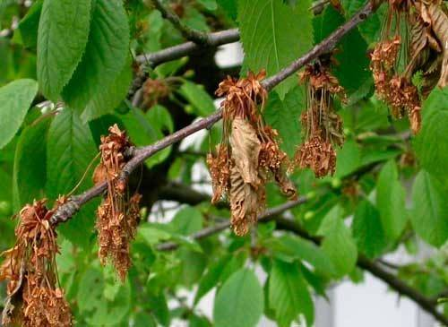 Лечение монилиоза вишни