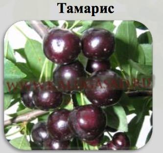 Вишня тамарис: описание сорта и его фото, характеристики и особенности выращивания
