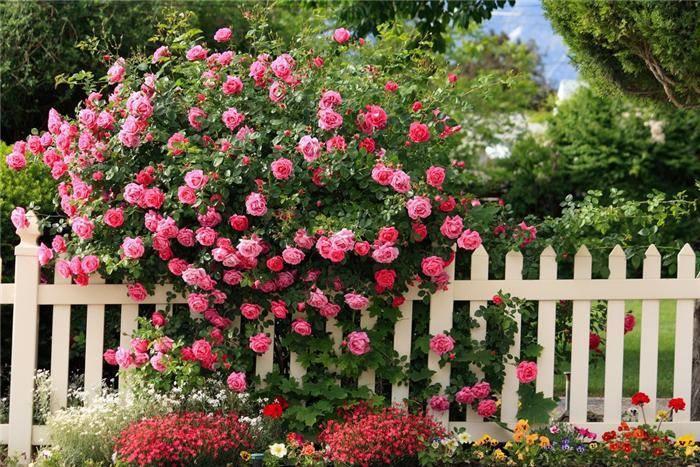 Парковые розы: фото сортов с названиями, посадка, уход и выращивание
