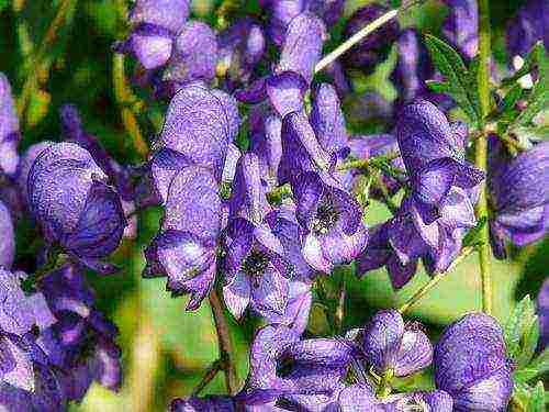 Аконит: фотографии цветка и применение в медицине