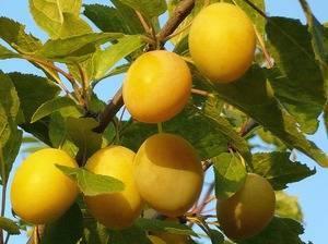Лучшие сорта сливы желтая самоплодная, описание и характеристики для подмосковья и других регионов + отзывы