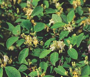 Вечнозелёная въющаяся жимолость дрёма: особенности ухода и посадки