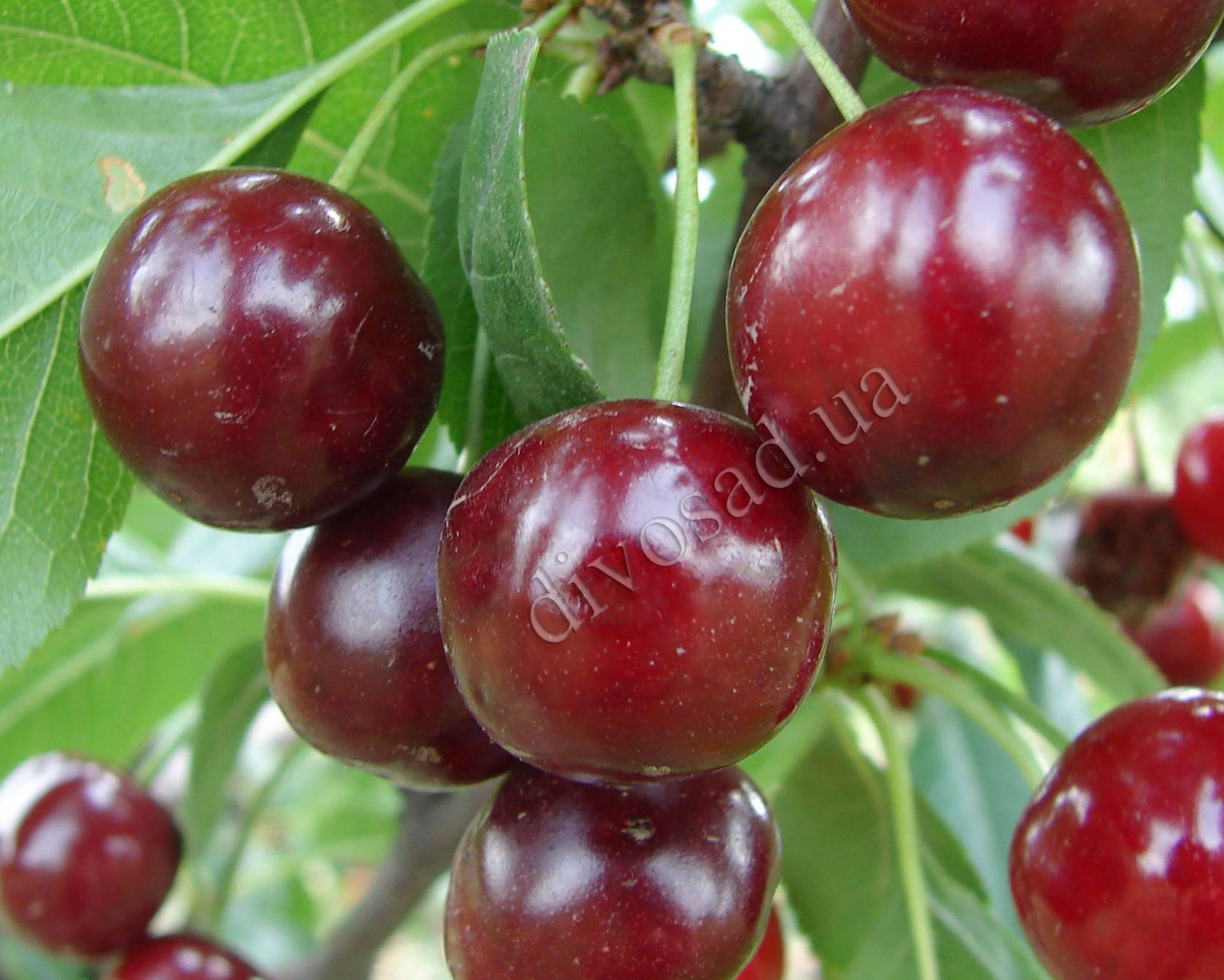 Какие сорта опылителей подобрать для вишни и черешни – подробное руководство