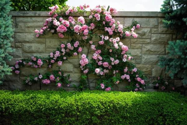 Особенности агротехники плетистых роз, все от посадки до укрытия на зиму плюс личный опыт