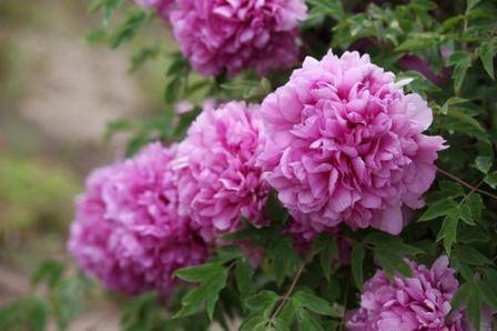 Плохо цветут пионы (и не цветут вовсе): почему? - общая информация - 2020