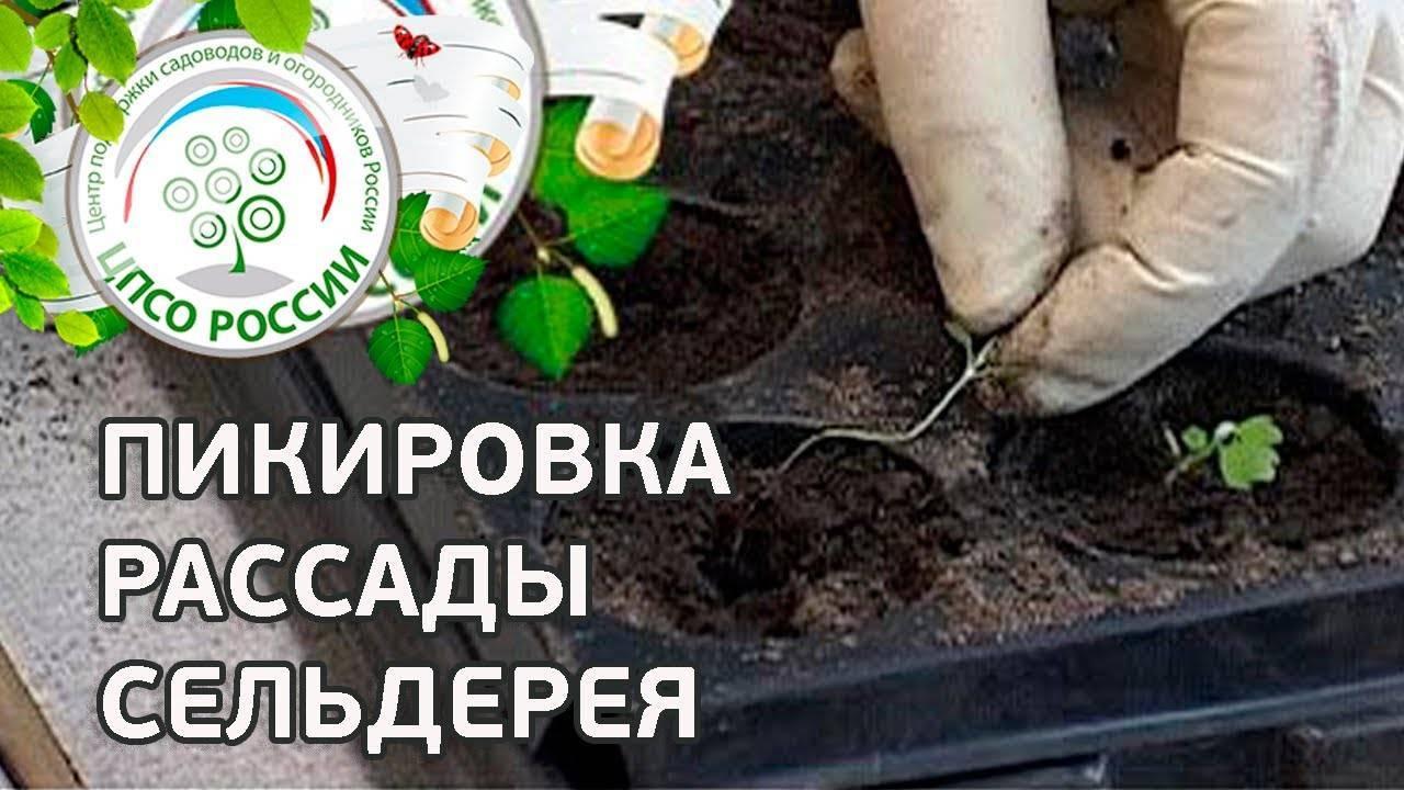 Выращивание сельдерея корневого рассадой - пошаговая инструкция!