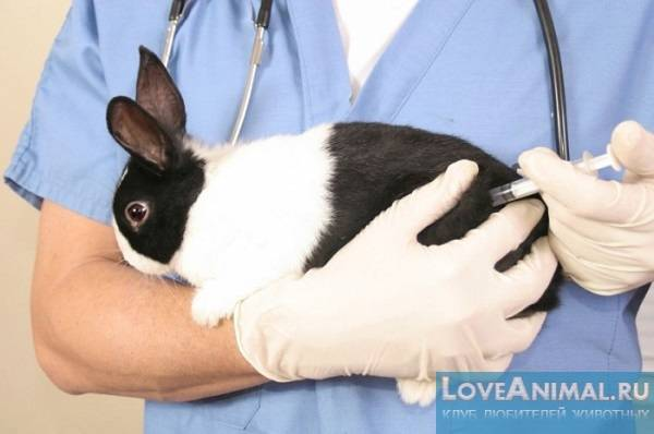 Когда делать прививки кроликам родившимся в сентябре