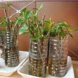 О размножении роз черенками летом: в июле и августе, в открытом грунте пошагово
