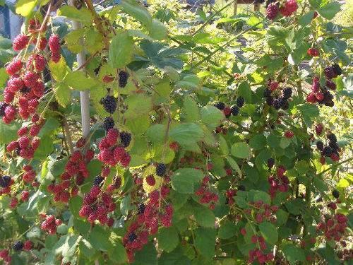 Ежевика — растение-целитель на даче