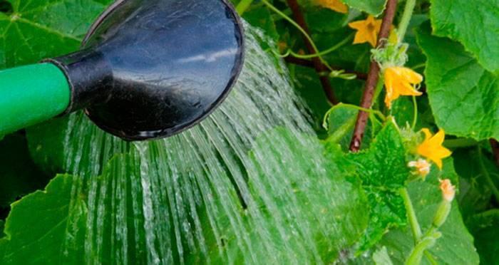 Как и когда поливать дыню: правила полива в открытом грунте и в теплице
