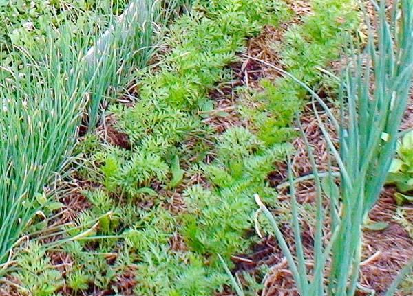 8 лучших способов посадки моркови в открытый грунт. подготовка и посев семян