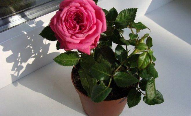 Роза кардана как ухаживать в домашних условиях