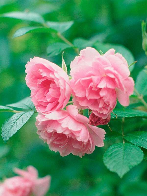 Роза морщинистая — красота необыкновенная