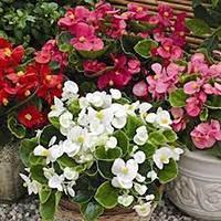 Бегония садовая — выращивание и уход за растением
