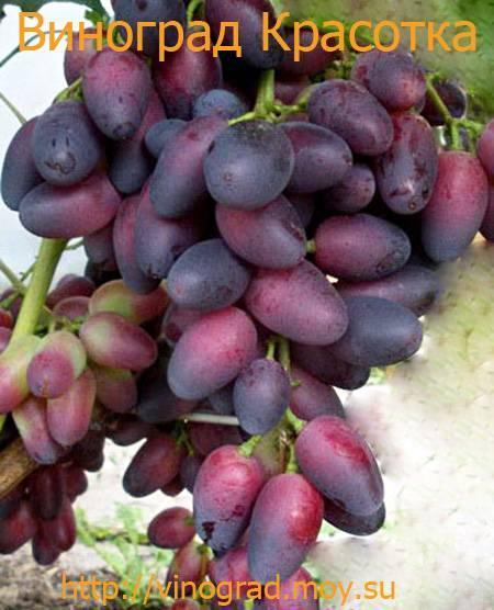 Описание сорта винограда Красотка: отличительные черты, основные преимущества