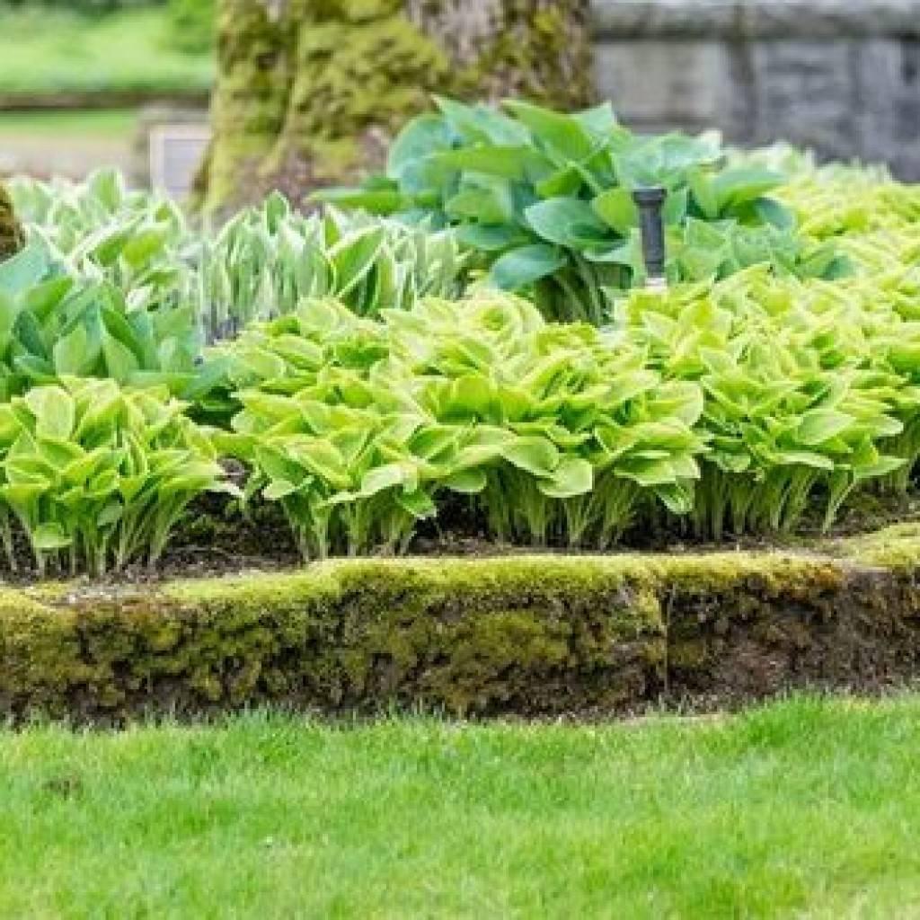 Посадка корневища хосты в открытый грунт весной