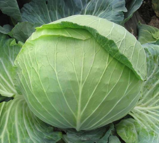 Капуста сахарная голова: описание сорта, фото, отзывы, посадка и уход, выращивание