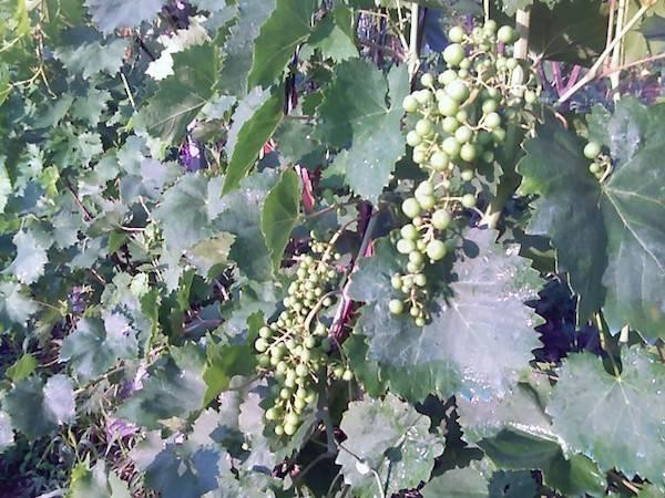 Почему кисти винограда редкие