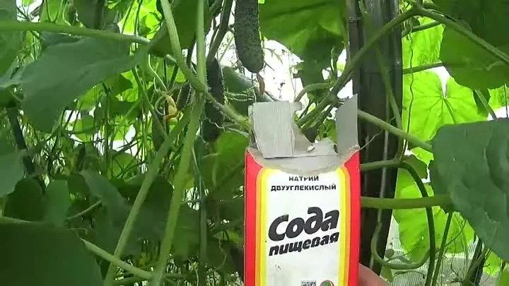 Сода — спасатель вашего огорода! пищевая сода — подкормка для: огурцов, томатов и других растений
