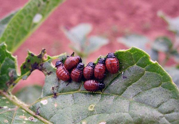 Обработка картофеля перед посадкой от колорадского жука: советы