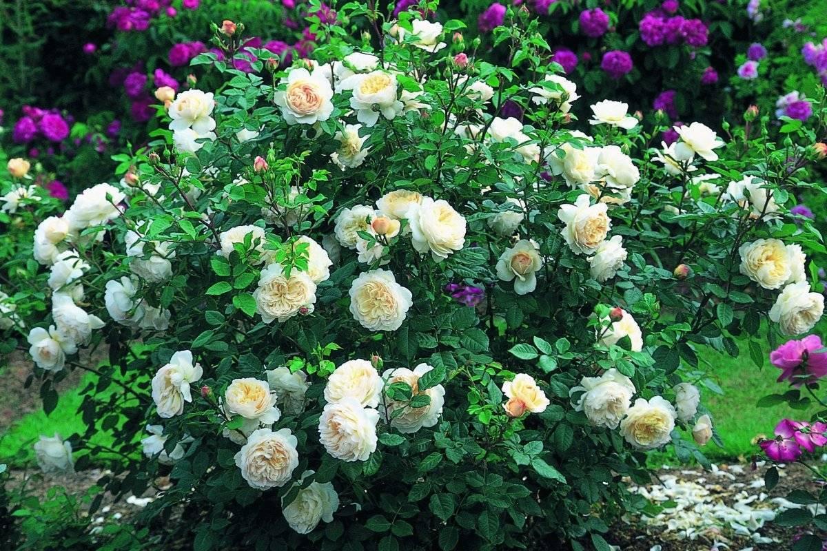 Плетистые розы (96 фото): уход за вьющимися сортами плетистых роз после цветения, особенности посадки и выращивания, использование роз в ландшафтном дизайне