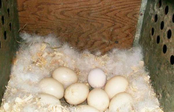 Тонкости инкубации утиных яиц