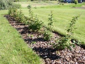 Малина осенью — сроки и способы посадки саженцев малины в открытый грунт под зиму