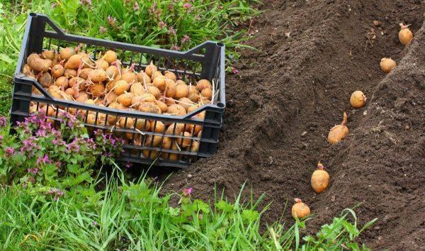 Когда достать и чем обработать картошку перед посадкой