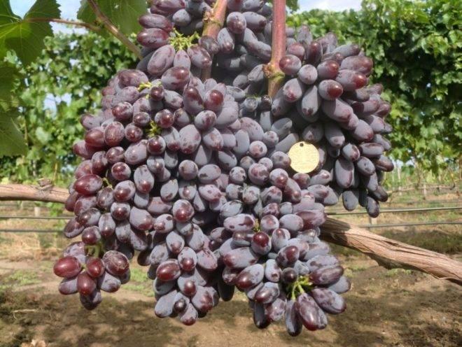 Виноград юпитер: описание сорта и рекомендации по возделыванию