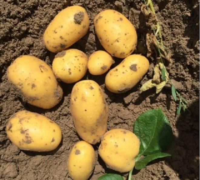Сорт картофеля «вега»: характеристика, описание, урожайность, отзывы и фото