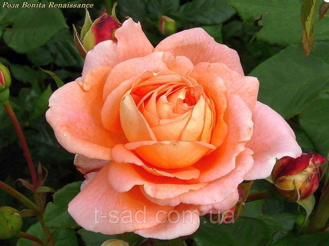 Роза амалия. описание сорта розы «амелия» с отзывами и фото роза амелия ренессанс