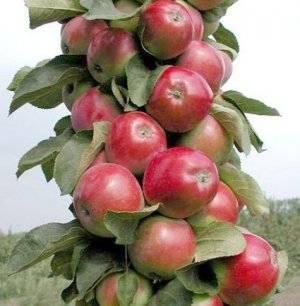 О яблоне колоновидной Триумф: описание и характеристики сорта, посадка и уход