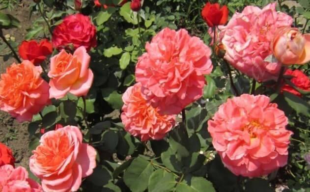Фиолетовые и сиреневые розы: сорта с описанием и выращивание