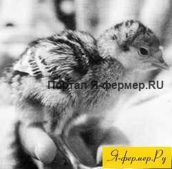 Как хранить индюшиные яйца для инкубации (высиживания)
