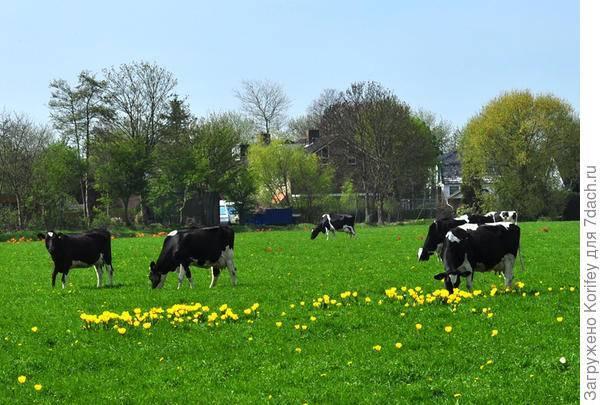 Корова | содержание коровы | кормление коровы и разведение коровы
