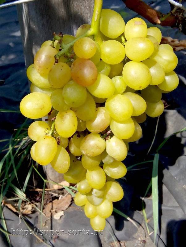 Описание сорта винограда тасон, основные характеристики и сравнение с другими сортами
