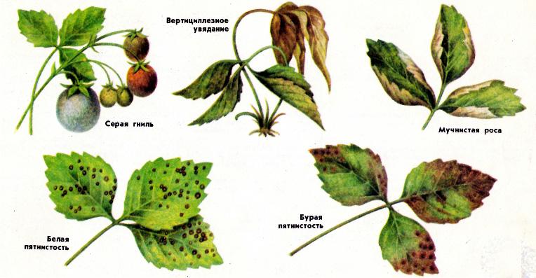 Болезни клубники: подробное описание с фотографиями