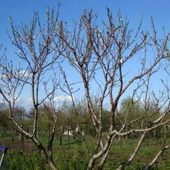 Обрезка персика – схема для начинающих садоводов