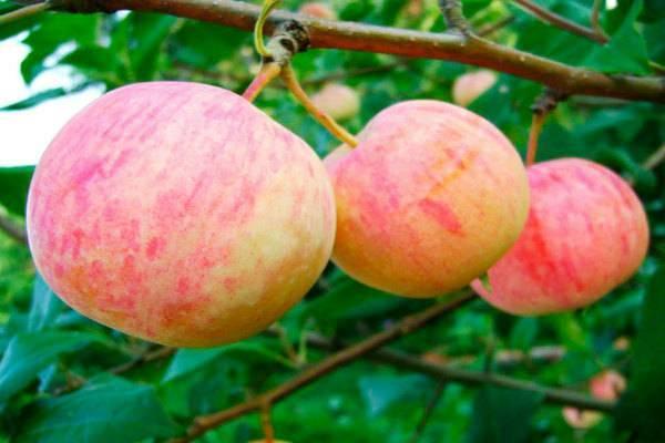 Сорт яблони «триумф»: характеристика, плюсы и минусы, агротехника выращивания
